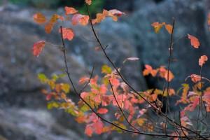 Fall leaves, poison oak