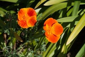 Alcatraz poppies